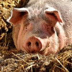 Horóscopo chino 2019, el año del Cerdo